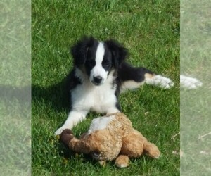Miniature American Shepherd Puppy for sale in LUCK, WI, USA