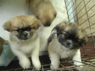 View Ad Tibetan Spaniel Puppy For Sale Near Michigan Ortonville