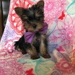 Australian Yorkshire Terrier Puppy For Sale in EPHRATA, PA, USA