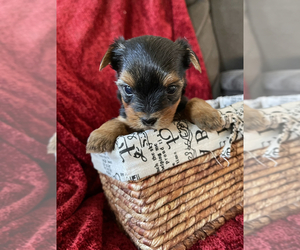 Yorkshire Terrier Puppy for Sale in SOUTH WALTHAM, Massachusetts USA