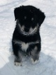 Goberian Puppy For Sale in MORGANTOWN, IN, USA