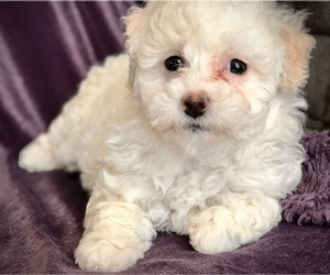 Poodle (Miniature) Puppy for Sale in WOODSTOCK, Connecticut USA