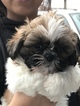 Shih Tzu Puppy For Sale in CHICO, CA, USA