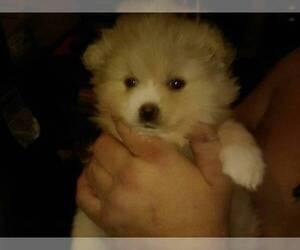 Pomeranian Dog for Adoption in CORYDON, Indiana USA