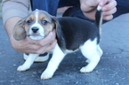 Beagle Puppy For Sale in MONROE CITY, IN, USA