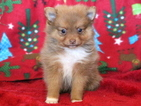 Pomeranian Puppy For Sale in MOUNT JOY, PA,
