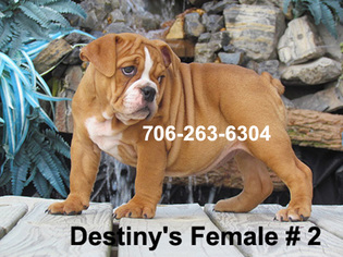 Bulldog Puppy For Sale in DALTON, GA