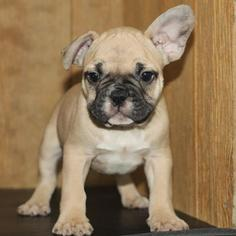 French Bulldog Puppy For Sale in MURRIETA, CA, USA