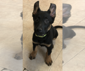 German Shepherd Dog Puppy for Sale in SALEM, New Hampshire USA