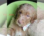 Puppy 4 Goldendoodle-Poodle (Standard) Mix