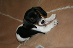 Dachshund Puppy For Sale in LEES SUMMIT, MO,