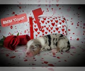 Australian Shepherd Puppy for sale in ZEBULON, NC, USA
