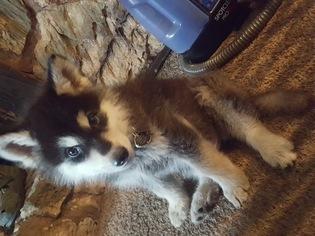 Alaskan Husky Puppy For Sale in EL SOBRANTE, CA