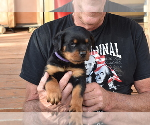 Rottweiler Puppy for Sale in SHOW LOW, Arizona USA