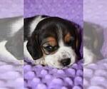 Small #4 Beagle