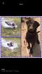 Labrador Retriever-Unknown Mix Puppy For Sale in WAXHAW, NC, USA