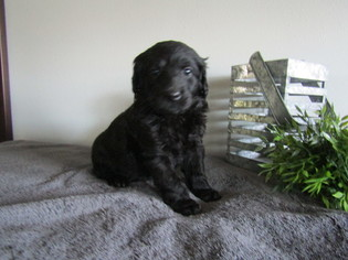 Goldendoodle Puppy for Sale in FREDERICKSBG, Ohio USA