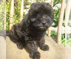 Aussiedoodle-Poodle (Toy) Mix Puppy for sale in BLAIN, PA, USA