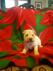 Chinese Shar-Pei Puppy For Sale in TONOPAH, AZ, USA