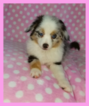 Miniature Australian Shepherd Puppy For Sale in PHOENIX, AZ,