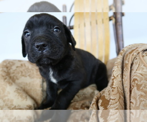 Cane Corso Puppy for sale in RIVER BLUFF, KY, USA