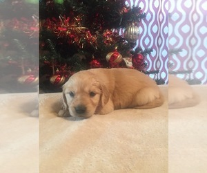 Golden Retriever Puppy for Sale in HONEY GROVE, Texas USA