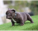 French Bulldog Puppy For Sale in JURUPA VALLEY, CA, USA