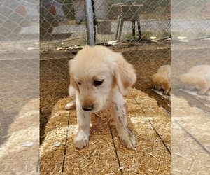 Golden Retriever Dog for Adoption in YUCAIPA, California USA