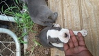 American Pit Bull Terrier Puppy For Sale in PROSPECT, VA