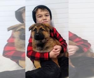 German Shepherd Dog Puppy for sale in ALLEGRE, KY, USA