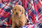 Goldendoodle Puppy For Sale in CUYAHOGA FALLS, OH, USA