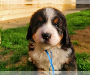 Bernese Mountain Dog Puppy for sale in Dej, Cluj, Romainia