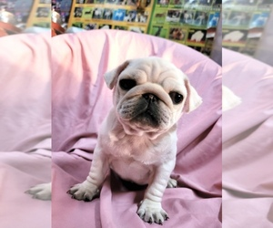 Pug Puppy for sale in ASTORIA, NY, USA
