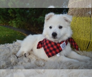 American Eskimo Dog Puppy for sale in HONEY BROOK, PA, USA