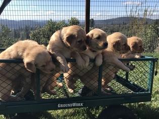 Golden Retriever Puppy For Sale near 95370, Sonora, CA, USA