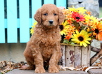 Goldendoodle Puppy For Sale in MOUNT JOY, PA, USA