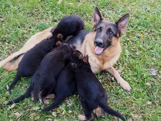 German Shepherd Dog Puppy For Sale in LOWELL, MI