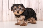 Paws Male Yorkie