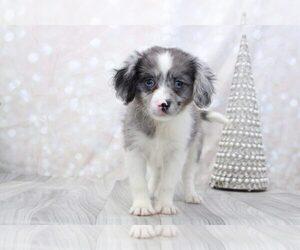 Cavapom Puppy for sale in MARIETTA, GA, USA