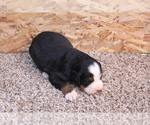 Puppy 1 Bernese Mountain Dog