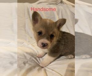 Pembroke Welsh Corgi Puppy for Sale in RAMONA, Oklahoma USA