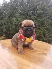 French Bulldog Puppy For Sale in BAKERVIEW, WA, USA