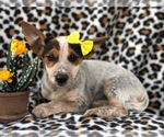 Small #8 Australian Cattle Dog-Jack Russell Terrier Mix