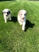 Aussie-Poo Puppy For Sale in BREMEN, MN, USA