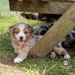 Australian Shepherd Puppy For Sale in BRIGHTON, MI, USA