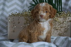 Cocker Spaniel-Poodle (Miniature) Mix Puppy For Sale in FREDERICKSBURG, OH, USA