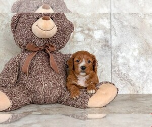 Goldendoodle (Miniature) Puppy for sale in AMITY, NC, USA