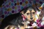 Yo-Chon Puppy For Sale in EPHRATA, PA, USA
