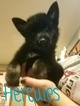 Pomsky Puppy For Sale in HENRIETTA, NY, USA
