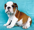 Bulldog Puppy For Sale in CHARLESTON, SC